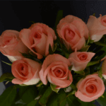 buy roses in baner balewadi from berry's roses and petals - Amarosa 150x150 - Buy Roses in Baner Balewadi from Berry's Roses and Petals – 7030983302 7030983307