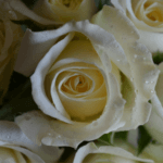 buy roses in baner balewadi from berry's roses and petals - Avalanche 150x150 - Buy Roses in Baner Balewadi from Berry's Roses and Petals – 7030983302 7030983307
